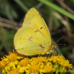 Photo of Clouded Sulphur in goldenrod