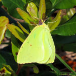 Photo of Cloudless Sulphur