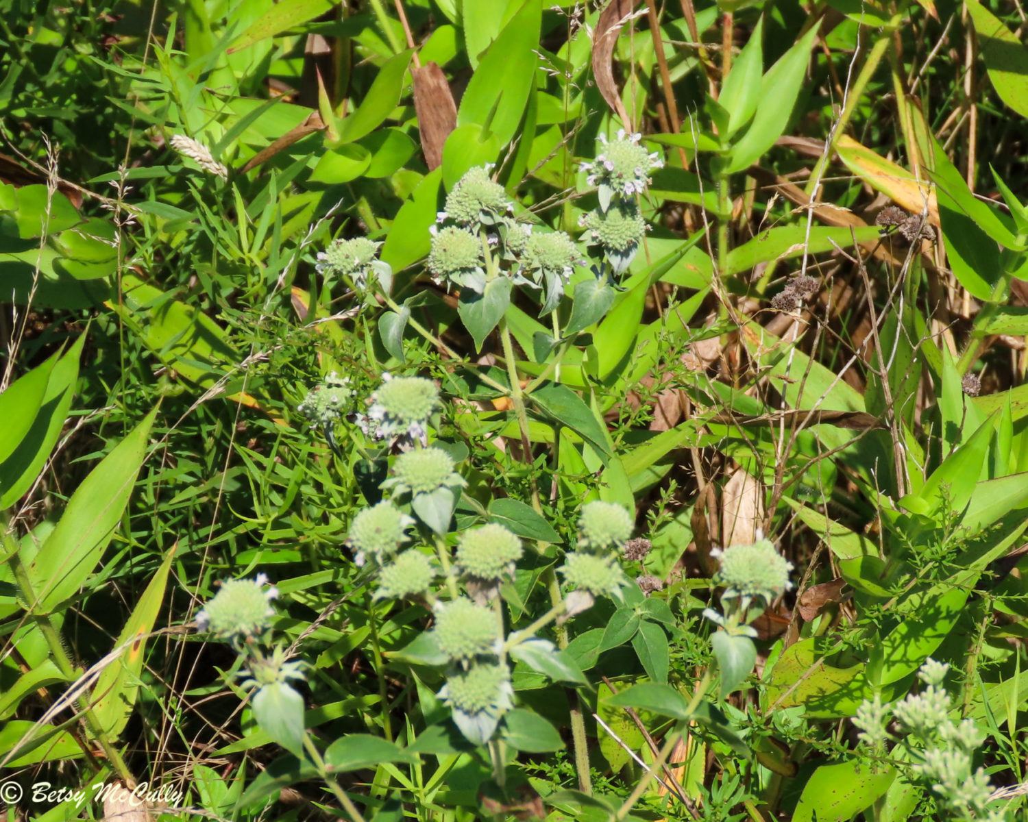 Photo of Clustered Mountain-mint