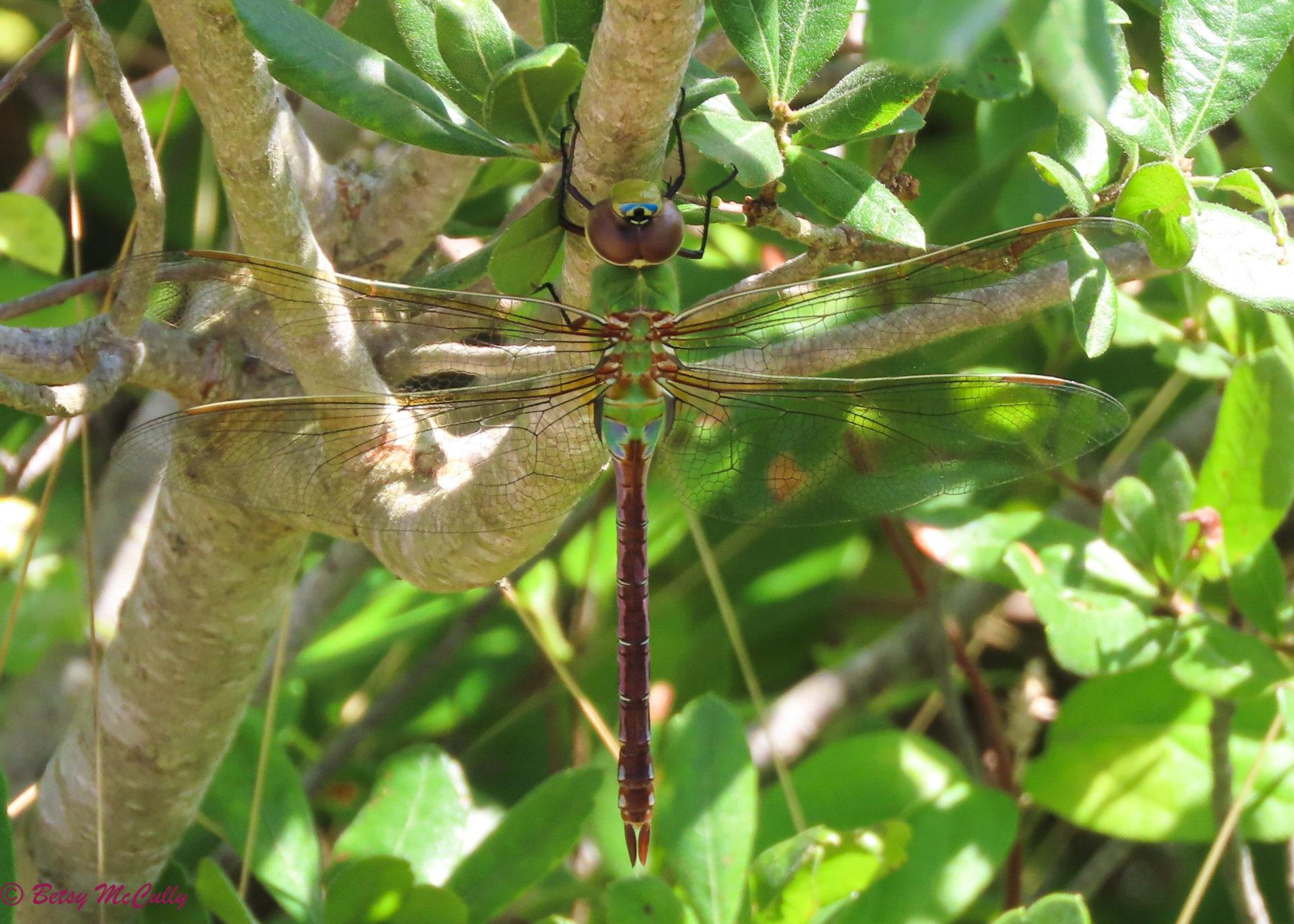Photo of Common Green Darner
