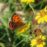 Photo of American Copper in golden-aster