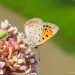 Photo of American Copper nectaring in milkweed