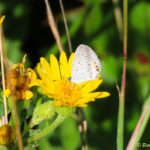Photo of Eastern Tailed Blue in golden-aster