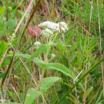 Photo of Boneset