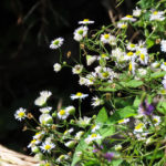 Photo of Daisy Fleabane