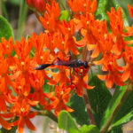 photo of butterfly weed and wasp