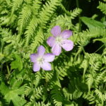 photo of Wild Geranium