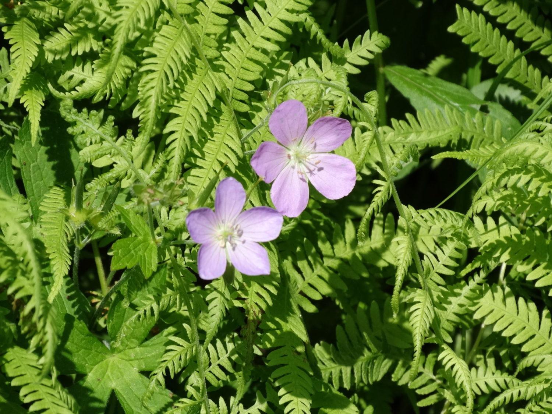 photo of Wild Geranium