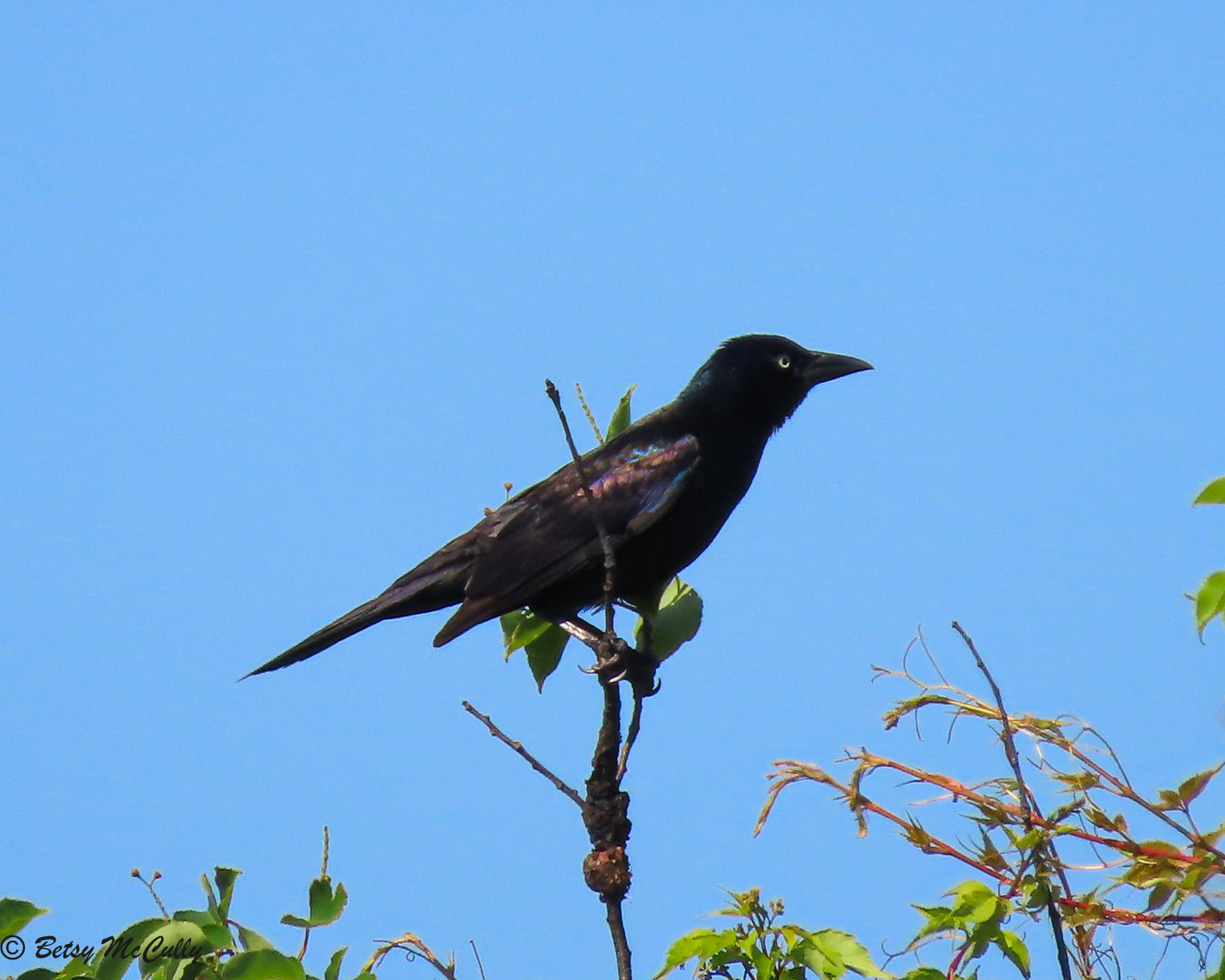Photo of Common Grackle male