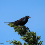 Photo of Common Grackle male on treetop