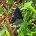 Photo of Gray Hairstreak in grass