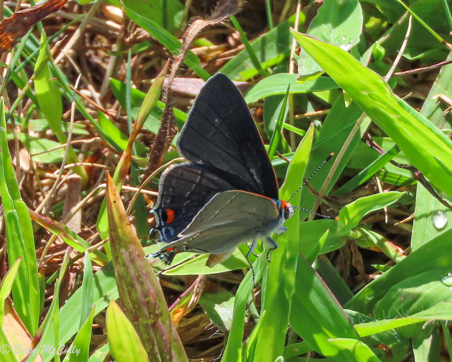 Photo of Gray Hairstreak in grass