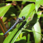Photo of Great Blue Skimmer male