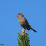 Photo of House Finch female