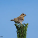 Photo of House Finch juvenile