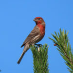 Photo of House Finch male