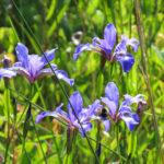 photo of Iris prismatica
