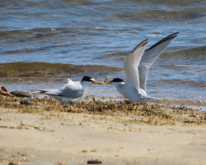 Photo of Least Terns