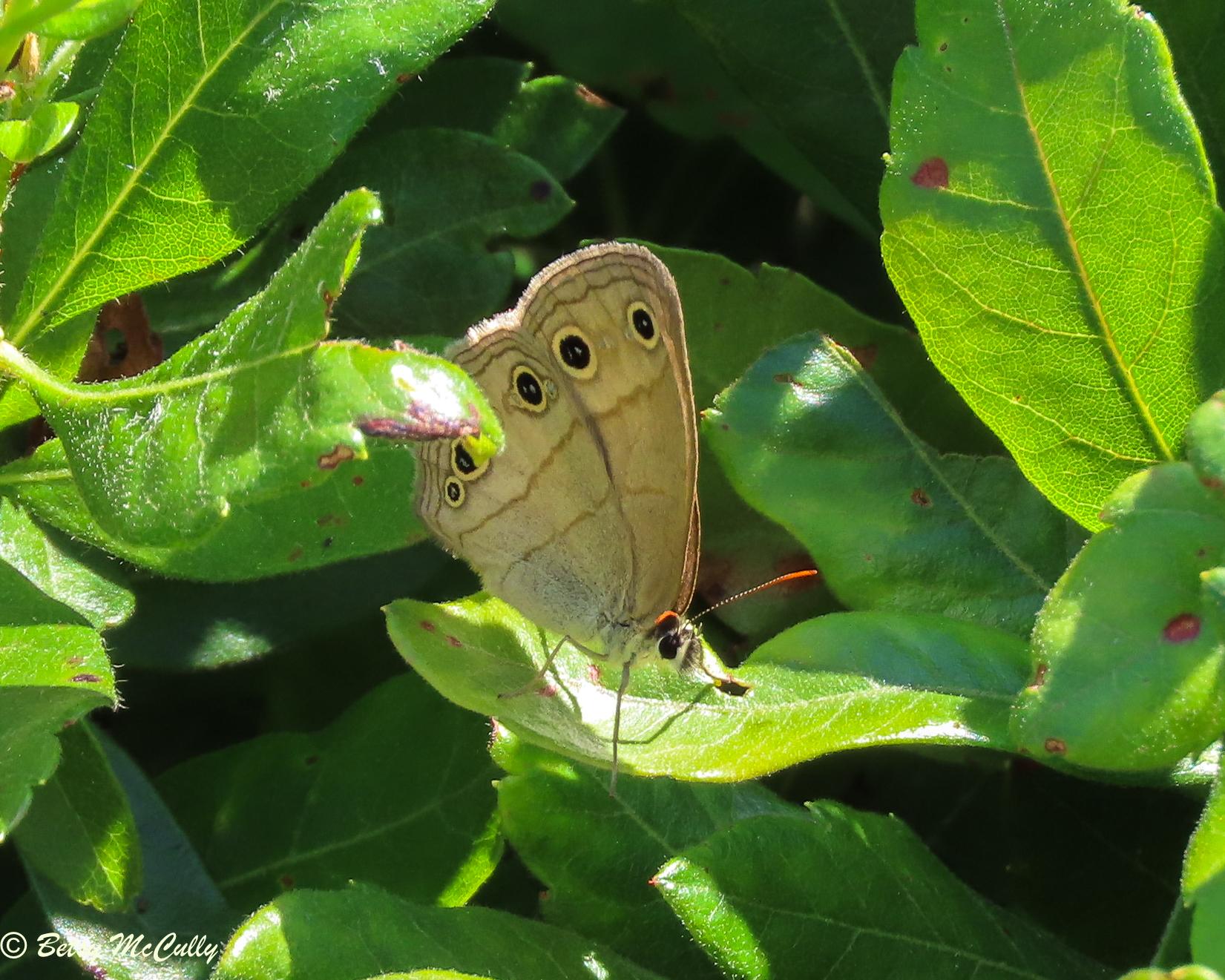 Photo of Little Wood Satyr on leaf