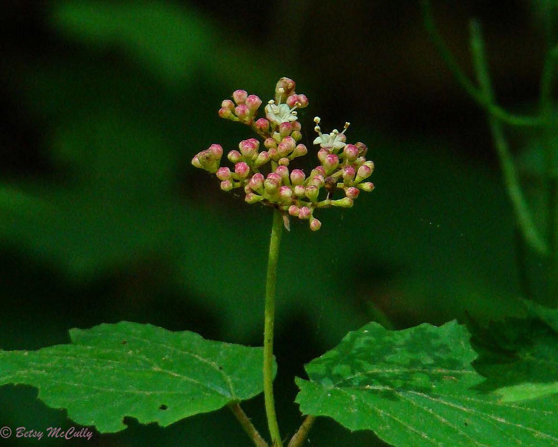 Photo of Maple-leaved Viburnum