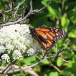 Photo of monarch in Queen Anne's Lace