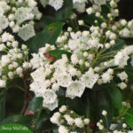photo of Mountain Laurel