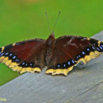 Photo of Mourning Cloak butterfly