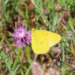 Photo of Orange Sulphur nectaring in knapweed