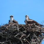 photo of Ospreys on nest