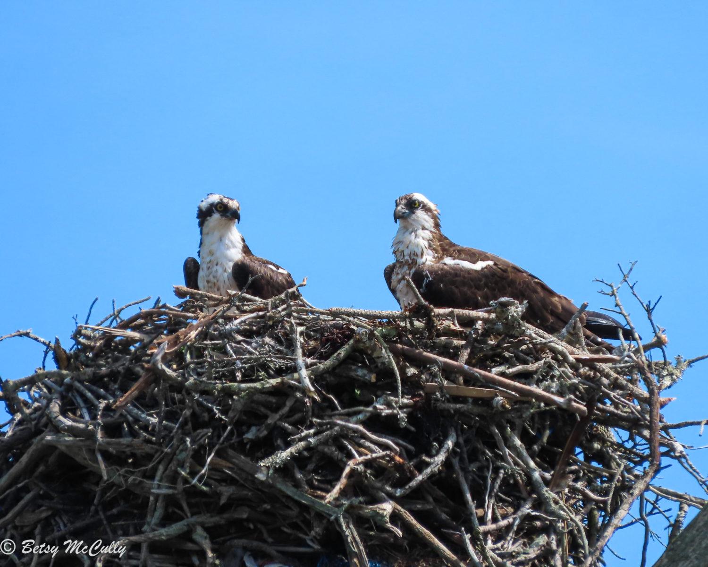 photo of Ospreys on nest