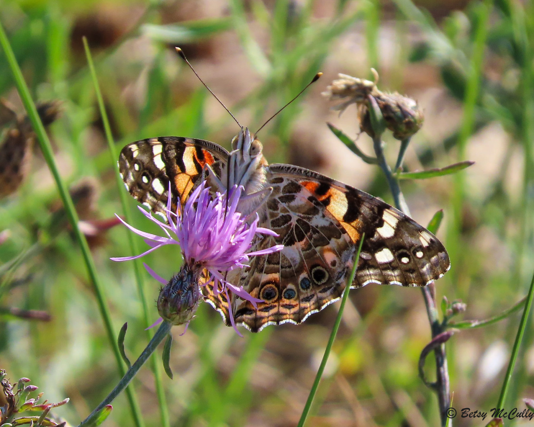 Photo of Painted Lady in knapweed