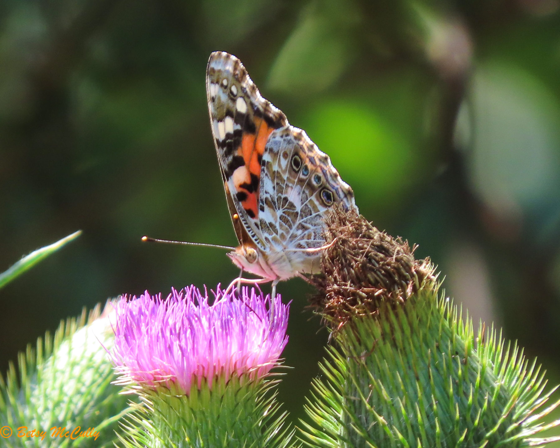 Photo of Painted Lady in thistle