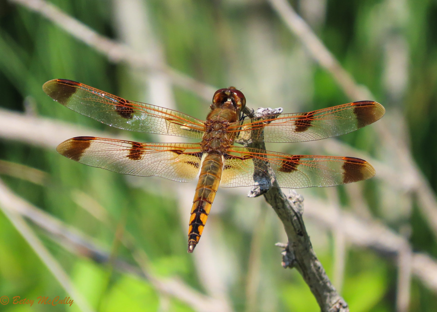 Photo of Painted Skimmer