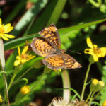 Photo of Pearl Crescent in golden-aster