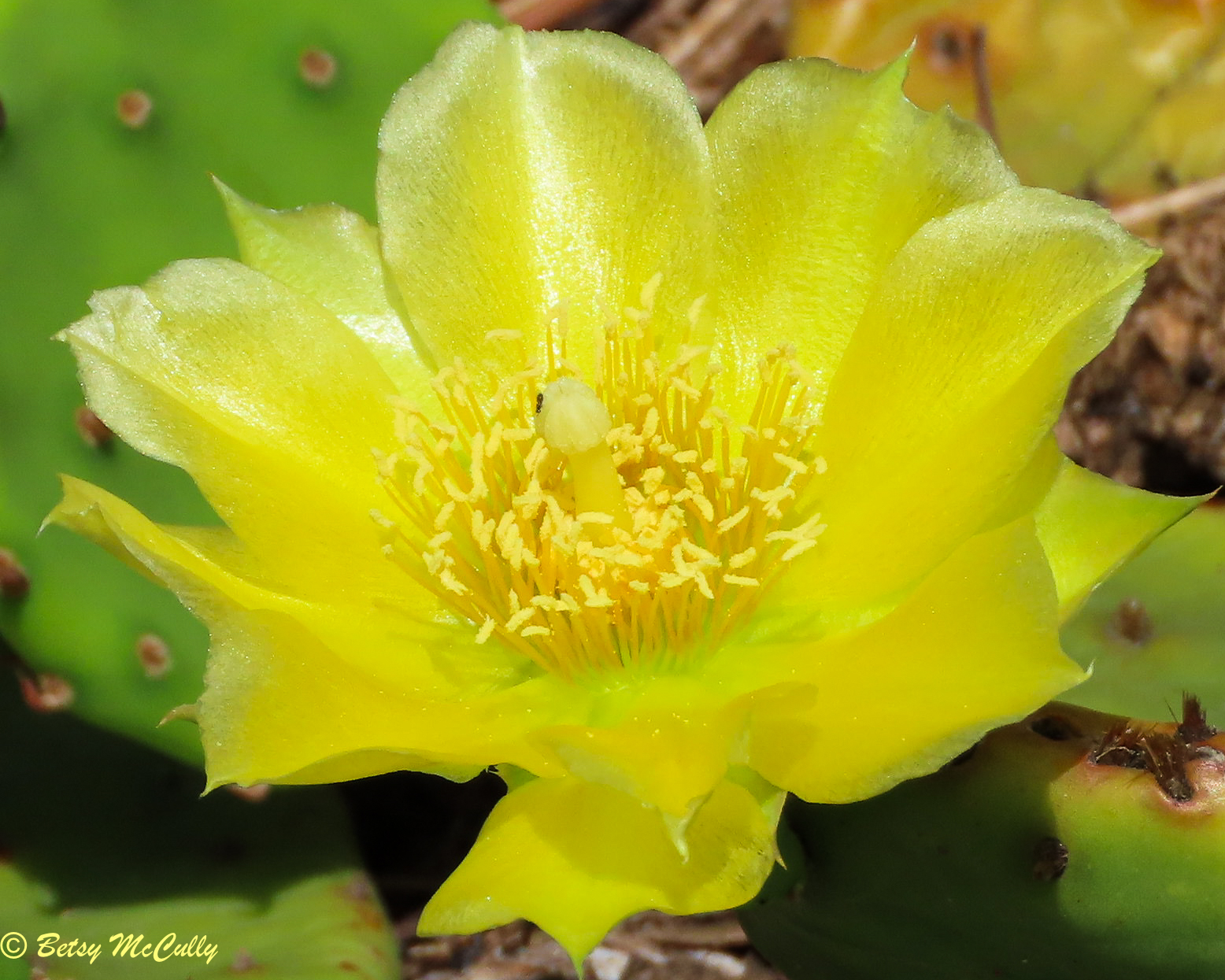 photo of Prickly Pear flower