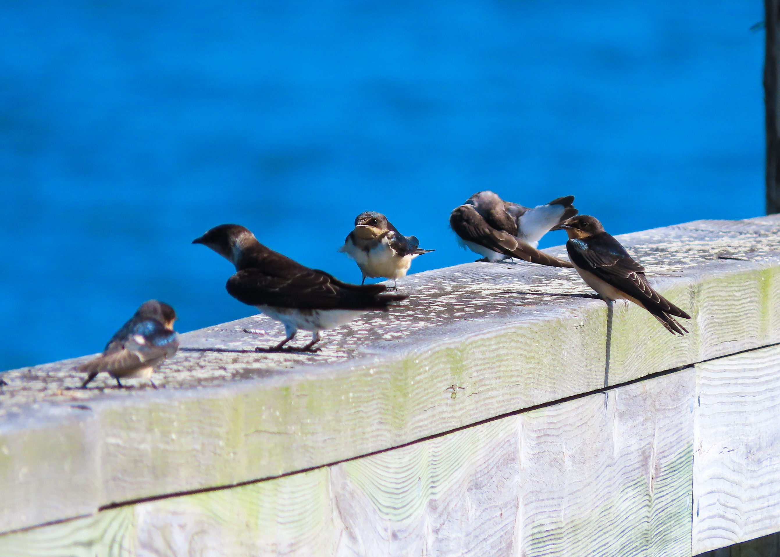 Photo of Purple Martins and Bank Swallows on bridge
