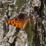 Photo of Question Mark sunning on tree trunk