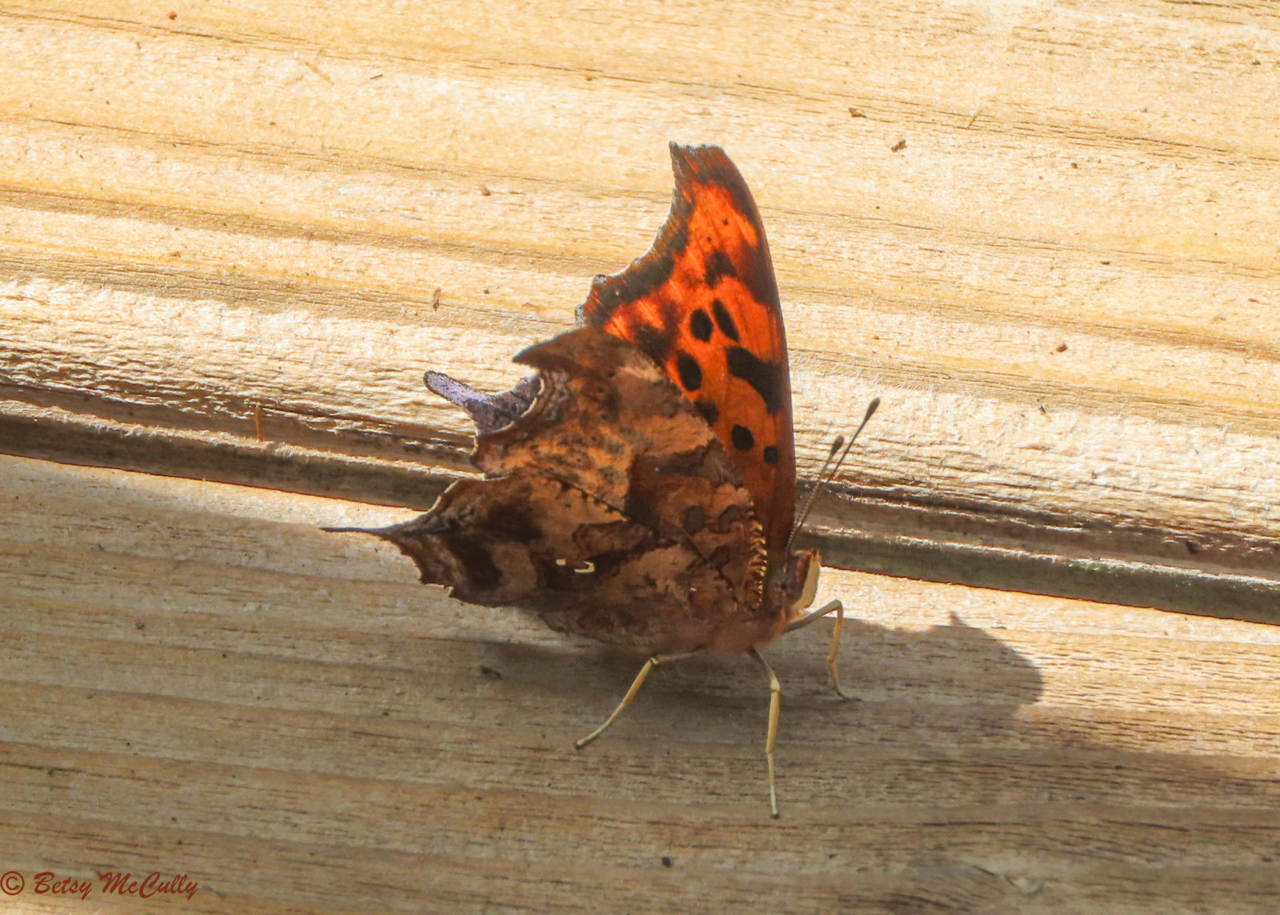 Photo of Question Mark sunning on deck