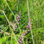 photo of Racemed Milkwort