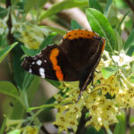 Photo of Red Admiral nectaring in Russian Olive