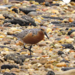 Photo of Red Knot