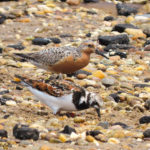 Photo of Red Knot and Ruddy Turnstone
