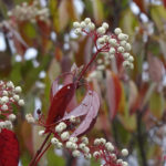 Photo of Red-osier Dogwood