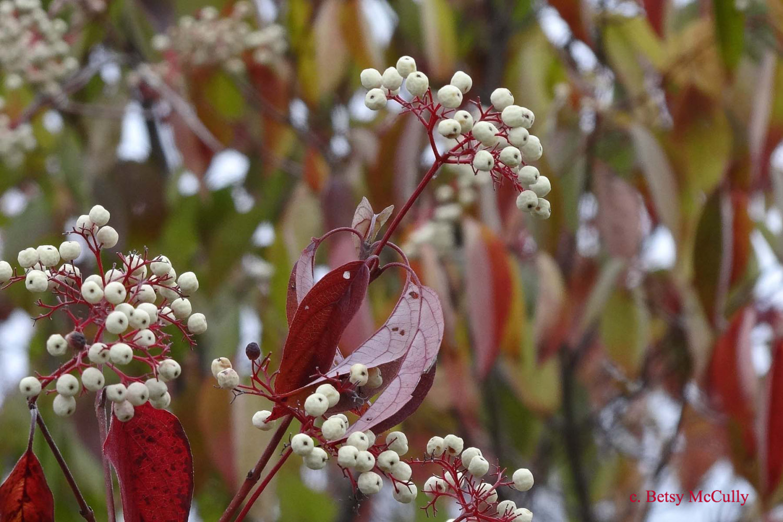 Photo of Red-osier Dogwood
