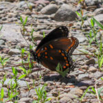 Photo of Red-spotted Admiral