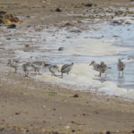 Photo of sanderling flock