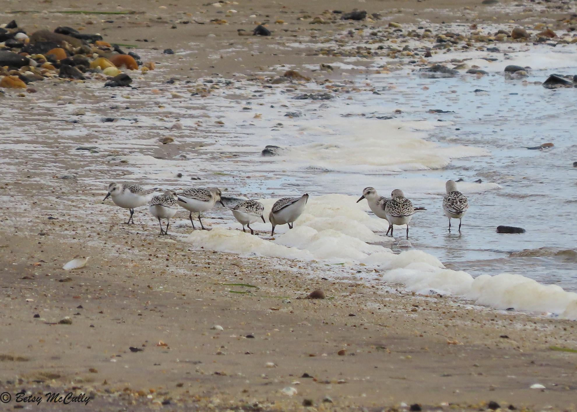 Photo of sanderling flock