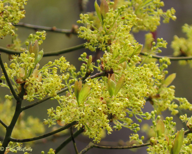 photo of Sassafras tree flower