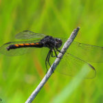 Photo of Seaside Dragonlet female