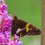 Photo of Silver-spotted Skipper in buddleia